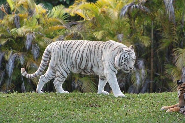 Albino Tiger Miami Zoo